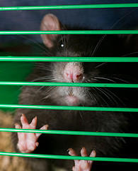 rat-torture1