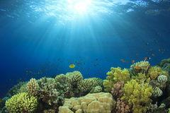 coral pov