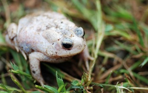 white-toad-small