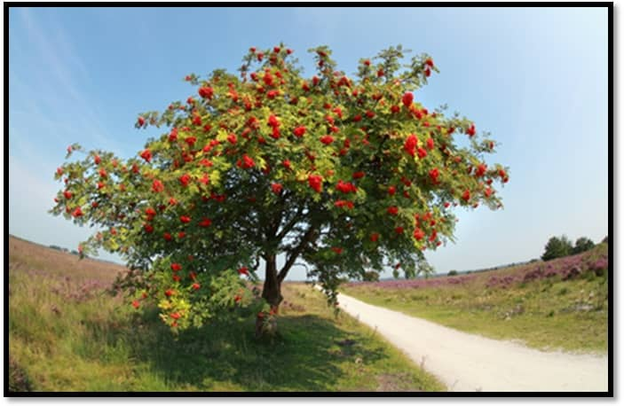 Goth Chick Rowan tree