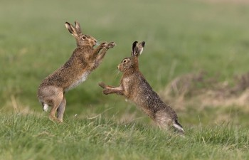 brown-hares-boxing-750x482
