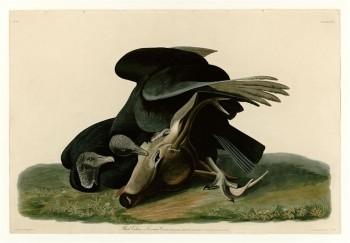 Black Vulture or Carrion Crow, by John James Audubon